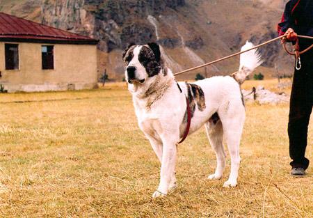 Пастушьи собаки Грузии 01